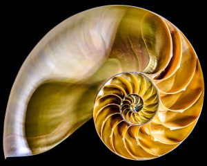 cross section of nautilus shell